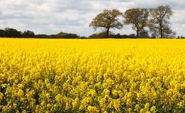 Rape, Mustard Seed Field Royalty Free Stock Photos