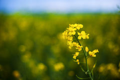 Rape plant. Rape or canola plant in a field Royalty Free Stock Photo