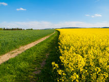 Rape plant field Stock Images