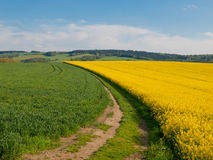 Rape plant field Royalty Free Stock Photography