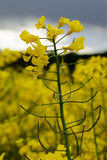 Rape plant flower. A rape plant close-up with the sky and a rape seed field as back-drop - an early yellow messenger in spring about the impending summer and Stock Photo