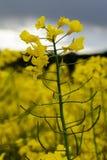Rape plant flower Stock Photo