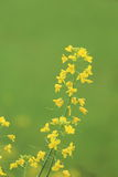Rape plant flower field Royalty Free Stock Photos