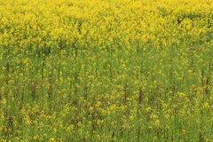 Rape plant flower field Royalty Free Stock Images