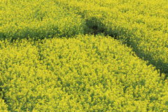Rape plant flower field Stock Photography