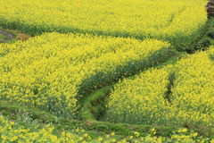 Rape plant flower field Stock Images