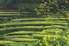 Rape plant flower field Stock Images