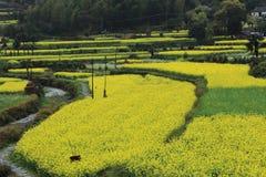 Rape plant flower field Royalty Free Stock Image