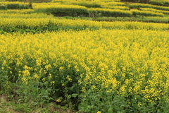 Rape plant flower field Stock Photo