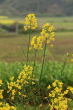 Rape plant flower field Stock Photos