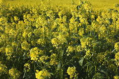 Rape plant and rape field Royalty Free Stock Photos