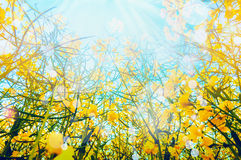 Rape plant with yellow flowers over sun and sky background, view from the bottom. Outdoor nature background Royalty Free Stock Image