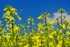 Rape plants no.1 Stock Images