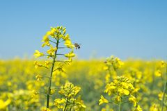 Rape, rapeseed field. flowers close-up. Yellow flowers. The bee collects pollen. Rape, rapeseed field. flowers close-up. Yellow flowers. The bee works and stock image