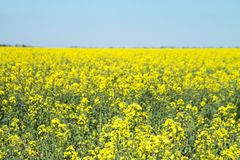 Rape, Rapeseed Field. Flowers Close-up. Yellow Flowers Against The Blue Sky Royalty Free Stock Photos