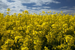 Rape seed close up, differential focus Royalty Free Stock Image