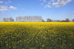 Rape seed crop and poplars Stock Image