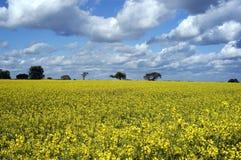 Rape seed field. Field of rape seed in spring Royalty Free Stock Photo