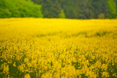 Rape seed field Royalty Free Stock Photography