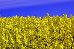 Rape seed field Stock Photo