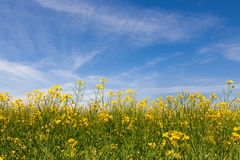 Rape seed field. Yellow rape seed field with a blue sky background Stock Image