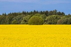Free Rape Seed Field Stock Image - 32075161