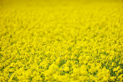 seed field background. Royalty Free Stock Photo