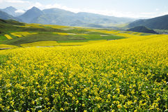 Rape seed field and Barley field Royalty Free Stock Images