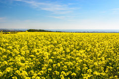 Rape seed field at Cap Gris Nez, France Stock Images