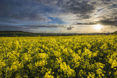 Rape seed field, cornwall, uk Royalty Free Stock Images