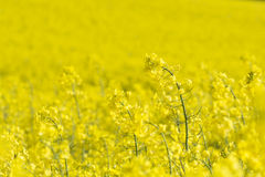 Rape seed field, cornwall, uk Royalty Free Stock Photo