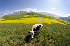 Rape seed field with cow Royalty Free Stock Images