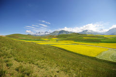 Rape seed field and grassland Royalty Free Stock Image