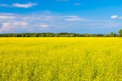 Rape seed field h Stock Photography