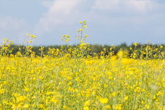 Rape seed field h Royalty Free Stock Images