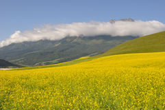 Rape seed field with mountains Royalty Free Stock Photo