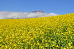 Rape seed field with mountains Royalty Free Stock Images
