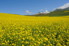 Rape seed field with mountains Royalty Free Stock Photography