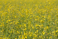 Rape seed field Stock Image