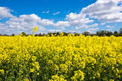 Rape Seed Field Royalty Free Stock Image