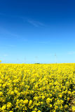 Rape seed field in summer Royalty Free Stock Images