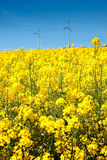 Rape seed field in summer Stock Images