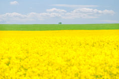 Rape seed field in summer with blue sky Stock Photo