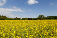 Rape Seed field Royalty Free Stock Photos