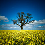 Rape seed field with tree Julian Bound Stock Photos