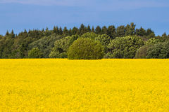 Rape seed field Stock Image