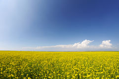 Rape seed field under blue sky Royalty Free Stock Image