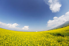 Rape seed field under blue sky Stock Photos
