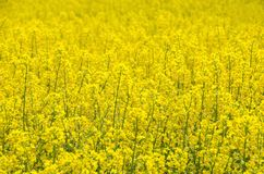Rape seed field Stock Photography