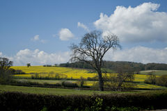 Rape seed fields Stock Images